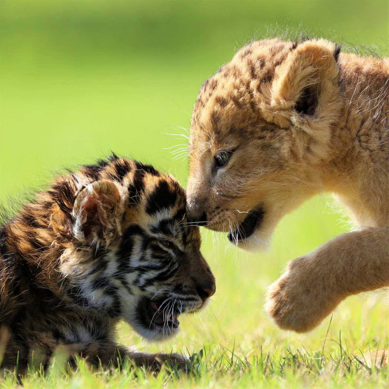 Поздравления днем, картинки с тигрятами и львятами