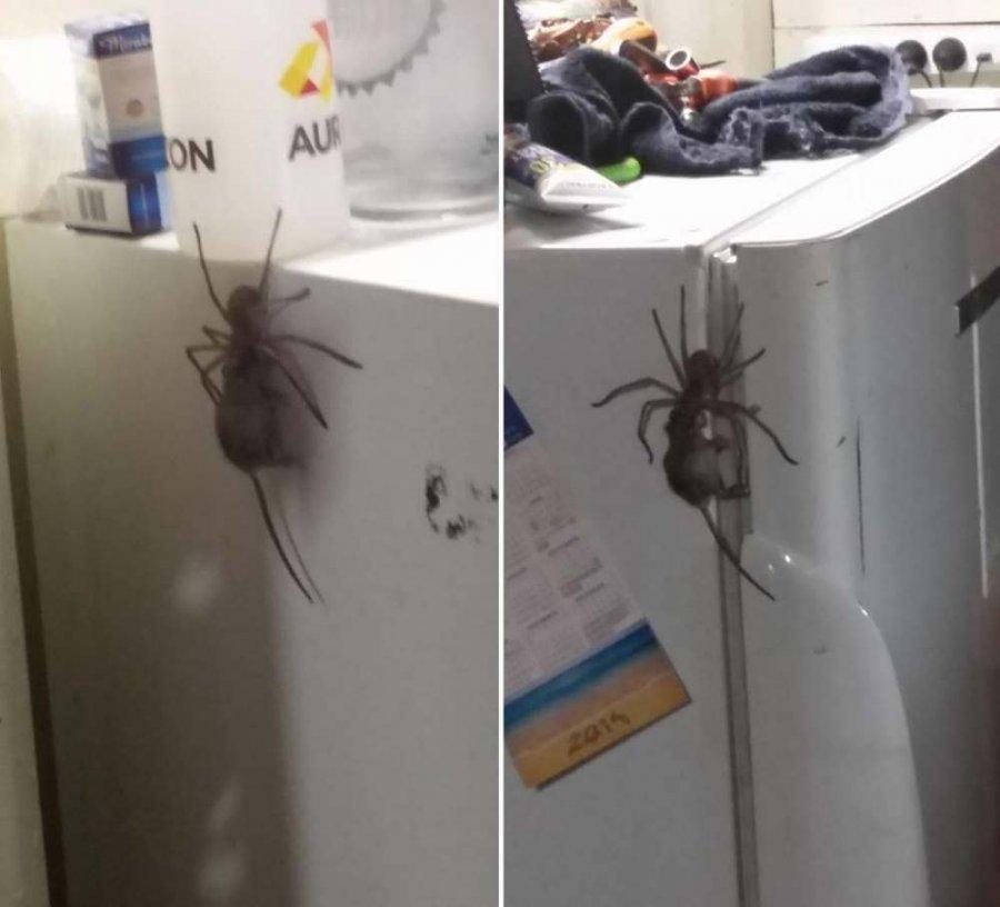 Этот паук, поедающий мышей, заставит вас навсегда забыть о поездке в Австралию (3 фото)