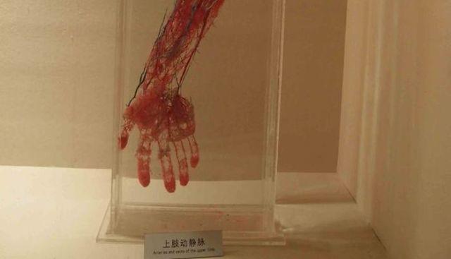 Кровеносная система без тканей: экспонаты из Шанхайского музея
